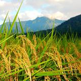 平成29年度産 新潟県産コシヒカリ JATsのおいしいお米販売開始しました。の画像