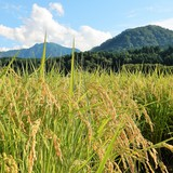 平成29年度生産jatsの美味しいお米は完売いたしました。 平成30年度産Jatsの美味しいお米の新米は10月1日からお届けいたします。の画像